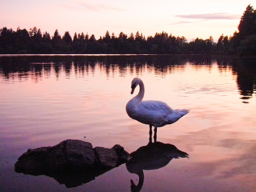 Swan at sunset, Stanley Park, Vancouver